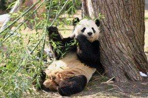 Panda géant 01
