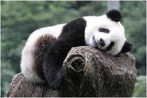 Panda géant 03