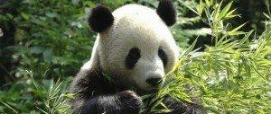 Panda géant 04