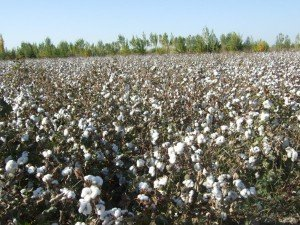 Production de coton 09
