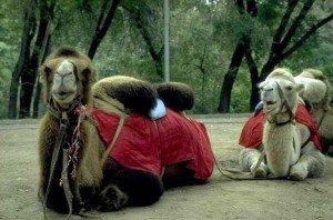 Almaty chameaux de Bactriane dans le parc Gorky 01