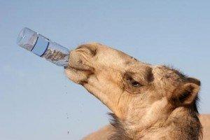 chameau soif