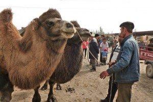 marché au chameaux de Kashgar 10 ou 20 000 yans selon la bête