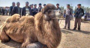marché au chameaux de Kashgar