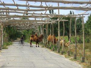 Xinjiang des chameaux près de Yarkand