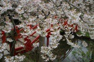 Cerisiers et pont japonais