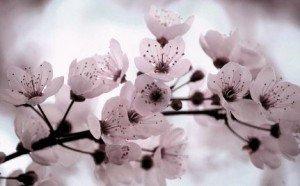 Fleur de cerisier 05