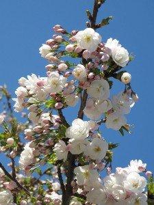 Fleur de cerisier 07 de prunus serrulata Shirotae