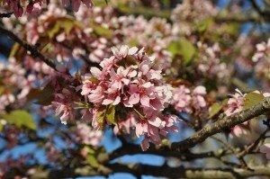 Fleur de cerisier 08 de prunus serrulata Hisakura